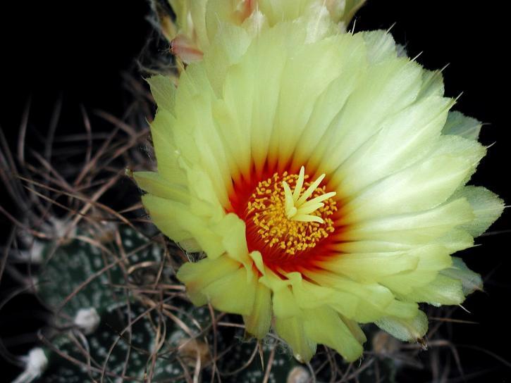 cactus, macro, scuro, fondo