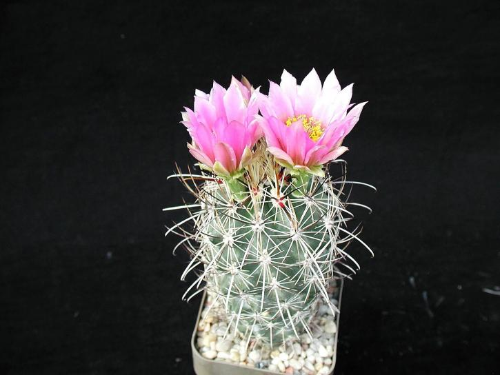 cactus, plante, studio