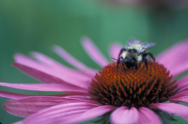 echinacea, bee, echinacea, purpurea, macro, photography