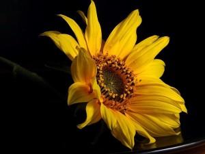 blomst, gul, makro, foto