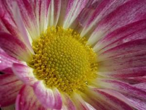 flowers, dew, macro