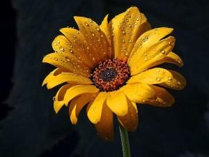 flowers, dew, rain