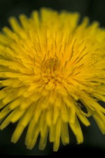 macro, up-close, plant, taraxacum, officinale