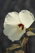 makro fotografija, flore, biljka, latice