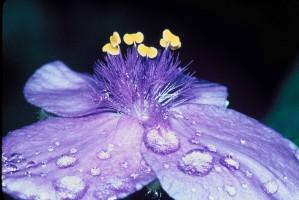 macro, picture, flower, dews, petals