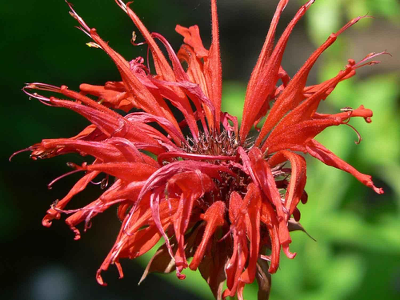 Free photograph; monarda, flower, macro, flora, professional, photography