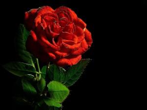 rood, rose, macro, stilleven, studio, flowrer