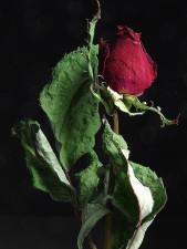 růže, sušená, makro, fotografie, Zátiší