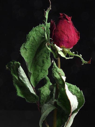 ruže, sušene, makronaredbe, fotografija, mrtva priroda