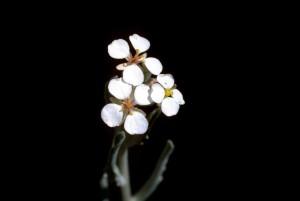 professionnel, studio photos, fleurs blanches, noir, fond