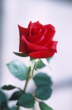 red, rose, photography