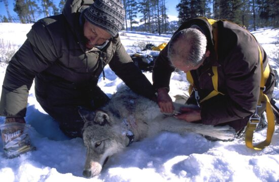 biologists, tranquilized, gray, wolf