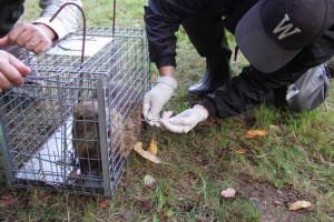 anesthetizing, nutria, tagging