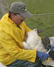 biologist, bands, tundra, swan, avian, influenze, sampling