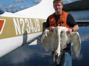 Biologi, menangkap, trumpeter swan, banding