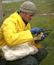 biologo, misure, proposta di legge, la lunghezza, tundra, cigno