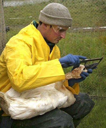 biólogo, medidas, cuenta, la longitud, la tundra, cisne