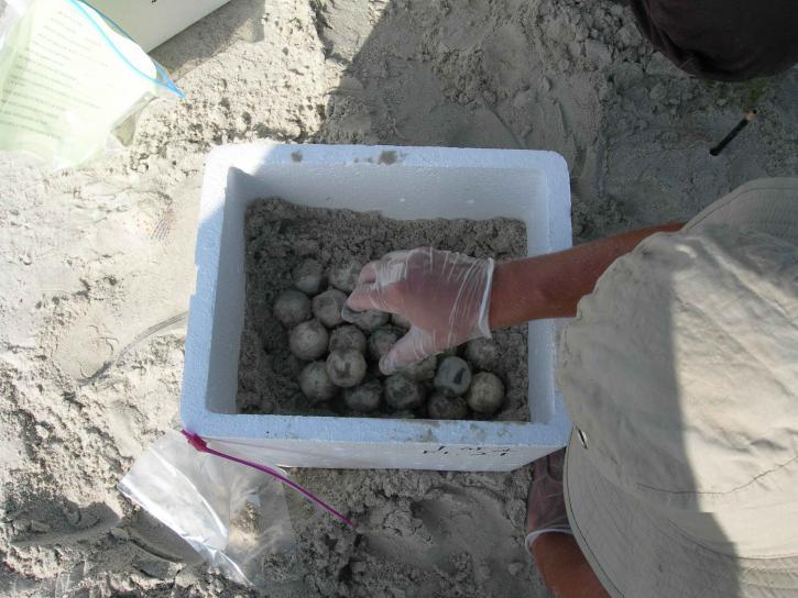 havet, boet, sköldpadda, biolog, utgrävning