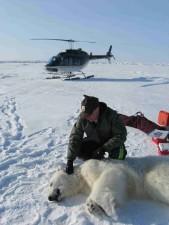 biológus, munka, jegesmedvét