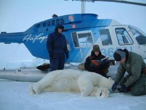 biologists, examine, measure, test, polar, bear