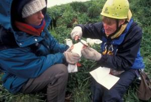biologistes, champ, effectuer, le marquage, les oiseaux