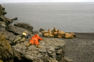 biologists, observe, walruses, bering, sea