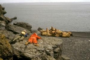 biologists, observe, walruses, bering, sea