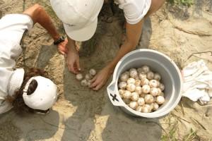 biologists, relocating, loggerhead, sea, turtle, nest