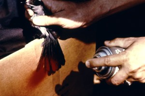 birds, tail, temporarily, marked, red, paint, short term, spotting, arbovirus, field, study