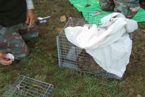 caged, nutria, covered, animal, calm, tagging