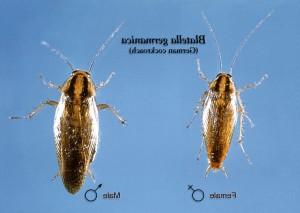 Rücken-, weiblich, männlich, deutsch, Schabe, Blatella, germanica