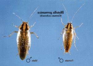 dorsale, femelle, mâle, allemand, cafard, Blatella, germanica