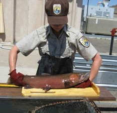 fisheries, biologist, measures, lahontan, cutthroat, trout, fish
