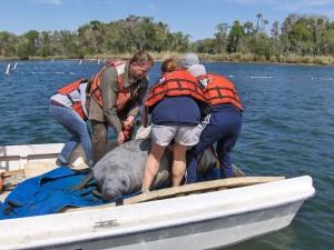 cinq, biologiste, bateau, lamantin, animal