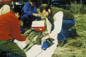 sivý vlk, zdravie, vyšetrenie