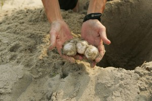 loggerhead, sea, turtle, eggs, relocated, erosion, washing