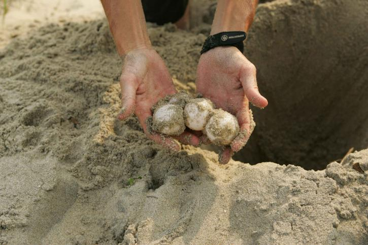 Loggerhead sea turtle, egg, flyttet, erosjon, vask