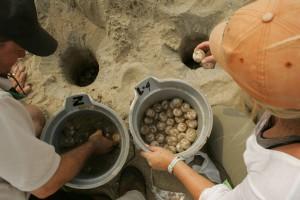 loggerhead, sea, turtle, nests, relocated