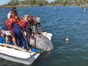 manatee, rescue, operation