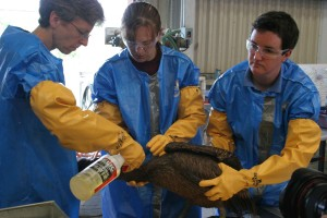 oil, impacted, brown, pelican, gets, cleaning