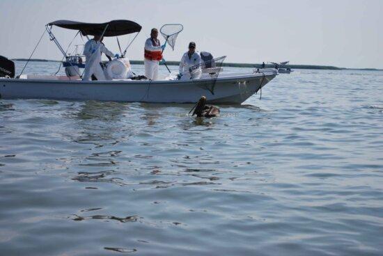oil, spill, pelican, rescue