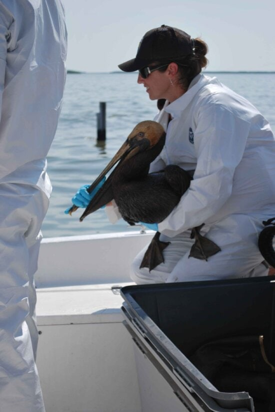oiled, pelican, rescued