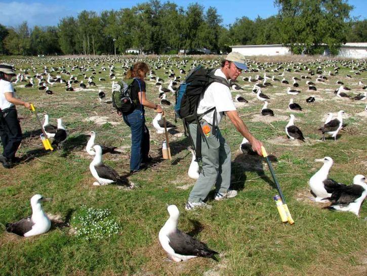 people, counting, laysan, albatross, nest
