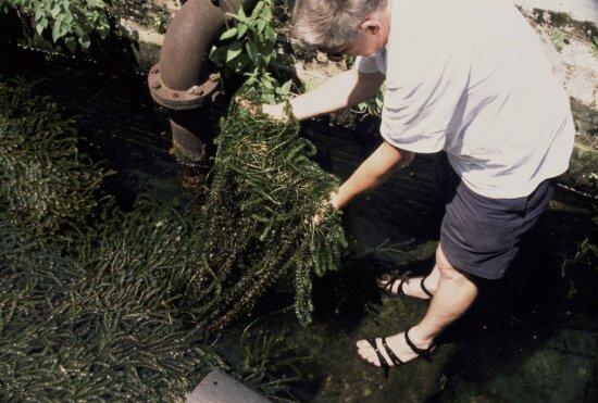 person, holding, aquatic, invasive, plant, hydrilla