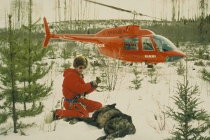 preparing, gray wolf, transport, helicopter