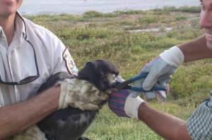 removing, fishing, hook, albatross