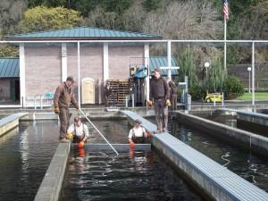 Usuwanie, łososia jednorocznego, wylęgarni, bieżnie