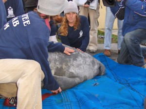 rescue, manatee, mammal, biologists, hold, animal