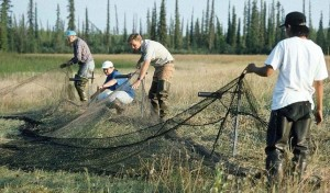 investigadores, establecidos, aves acuáticas, cohetes, neto, la captura, la banda, patos
