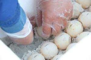 scientific, research, fertilized, eggs